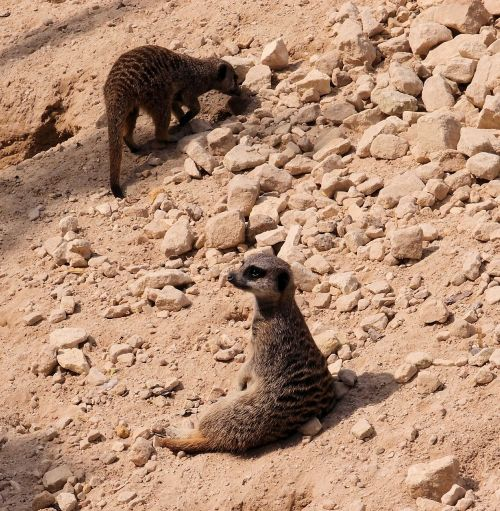meerkat animal wildlife