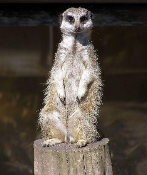 meerkat sitting facing