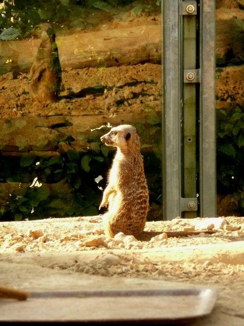 meerkat posing sun