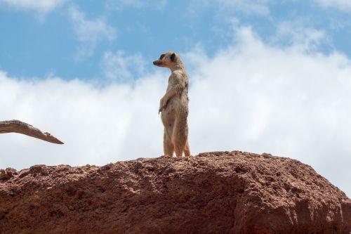 meerkat watch guard