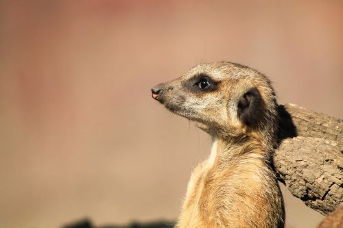 meerkat,portrait,animal,nature,head,mood,állatportré,wild,zoo,kémlel,is watching,watch,meerkats,you're thinking about,desert animals,animals,free photos,free images,royalty free