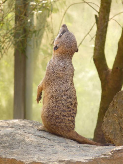 meerkat animal mammal