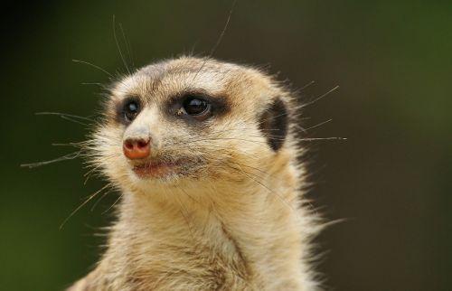 meerkat zoo mammals