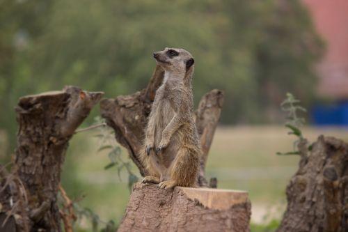 meerkat guard watch
