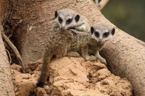 meerkat brothers and sisters young animals