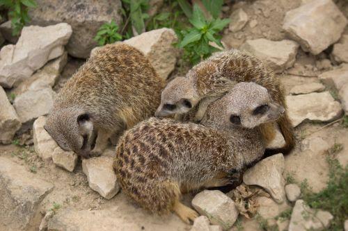 meerkat family young animals