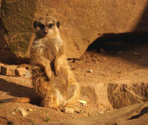 meerkat guards attention