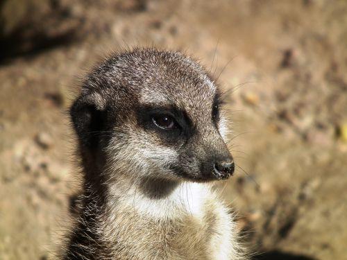 meerkat mongoose ausschau