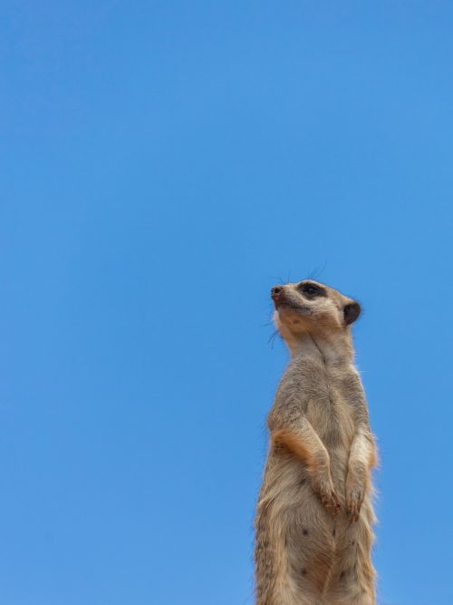 Meerkat With Copyspace