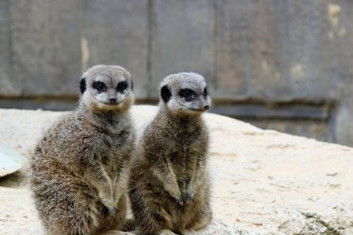 meerkats pair of meerkats animal