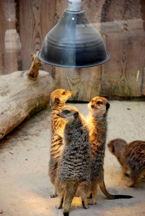 meerkats people talk