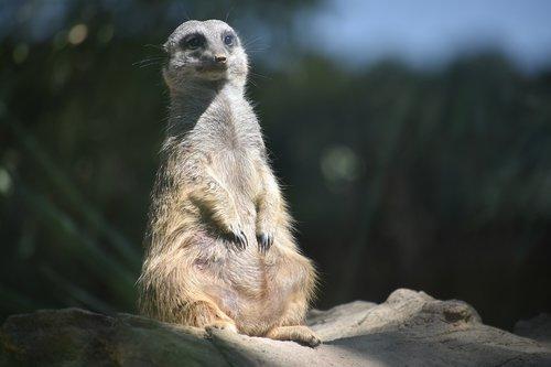 meerkats  animals  fantastic