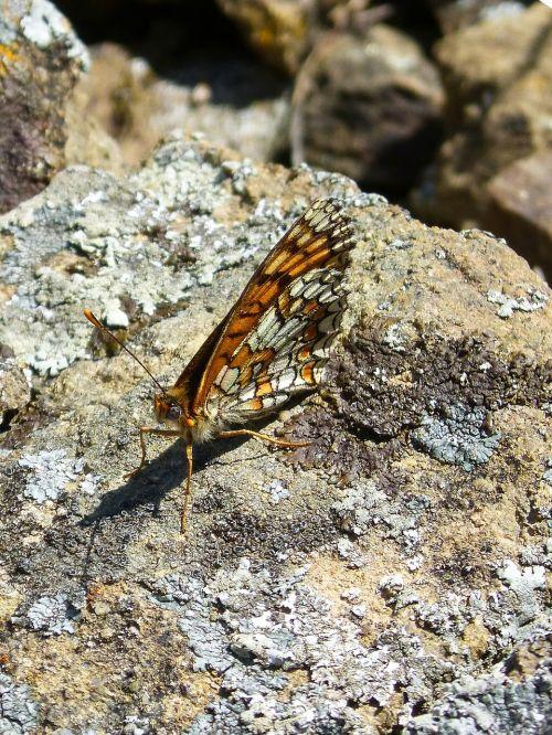 melitaea phoebe damero knapweed butterfly