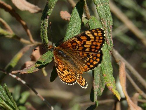 melitaea phoebe  butterfly  orange