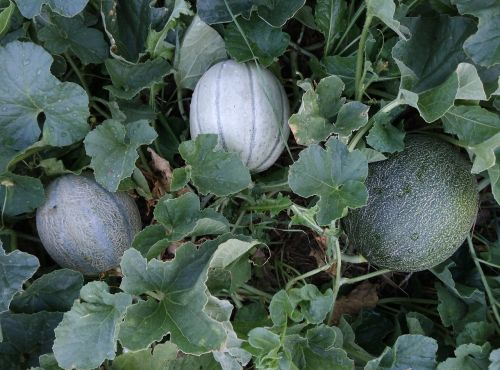 melon melons up cantaloupe