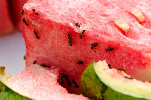 melon  watermelon  eat
