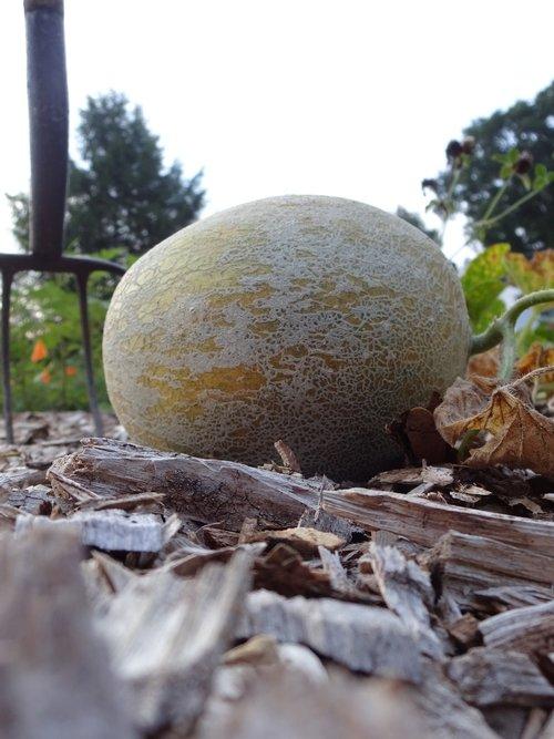 melon  honeydew  ground