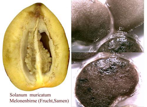 Melon Pear, Pepino