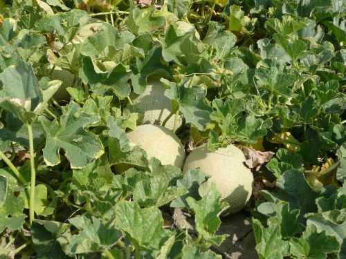 melons field agriculture