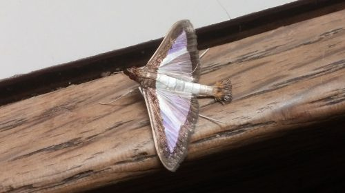 melonworm moth moth insect