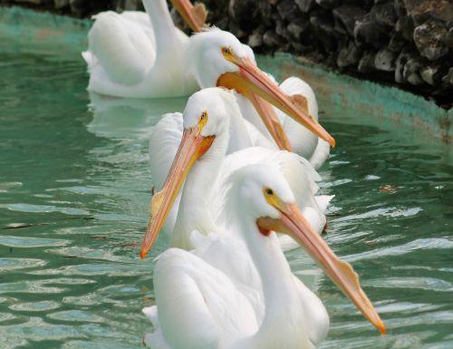 memphis zoo pelican