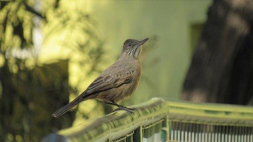 mere  ave  birds