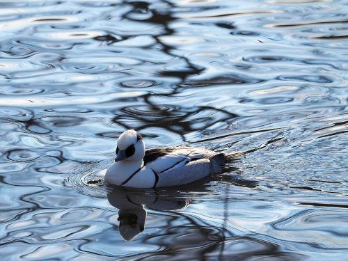 merganser piette ducks birds