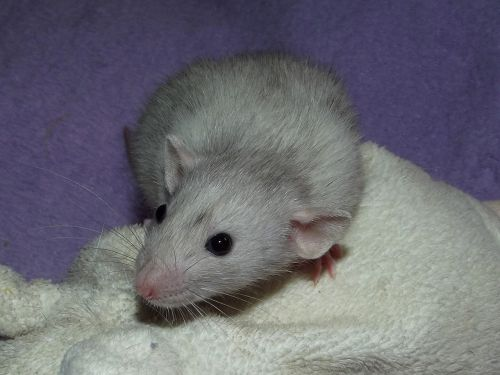 merle rat dumbo