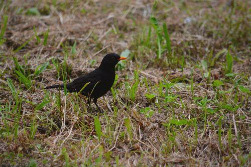 Blackbird In The Grass