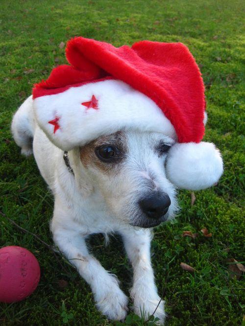 linksmų Kalėdų,Džekas,rudas terjeras,Kalėdų šuo,santa skrybėlė,raudona,mielas,laukia aštuoni vaikštytės,pacientas,juokinga,Kalėdų sveikinimas,bobble hat,Kalėdos,Kalėdų laikas,Kalėdinis atvirukas,Kalėdų motyvas,šuo,Kalėdų aštuoni vyro skrybėlę