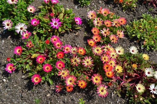 mesembryanthemum flowers memsies