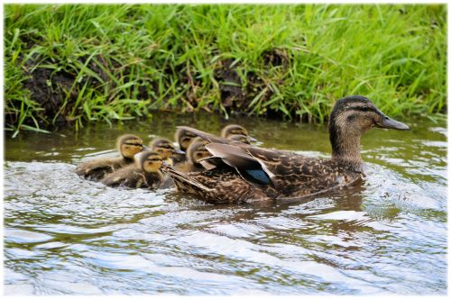 Mom With Ducklings 1