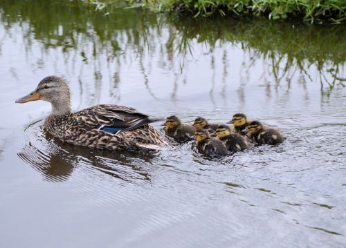 Duck With Ducklings 2