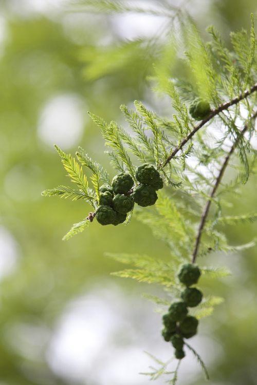 meta sequoia fruit meta information of ' fruit
