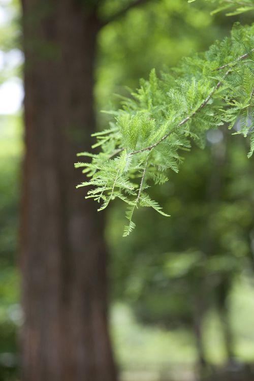 meta sequoia botanical garden wood