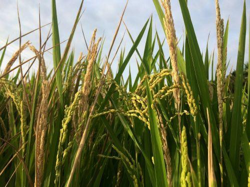 meter rice plant