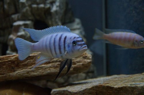 metriaclima zebra malawi bass aquarium