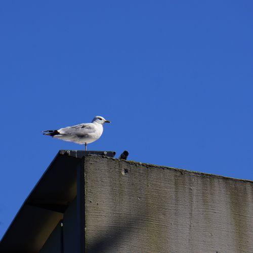 mew laridae bird