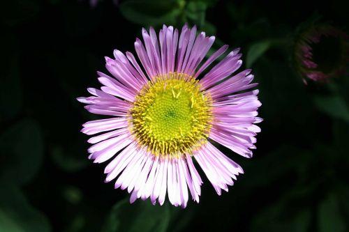 mexican daisy erigeron karvinskianus latin american fleabane