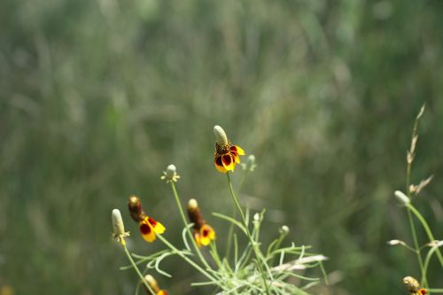 mexican hat flower red spike mexican hat prarie mexican hat