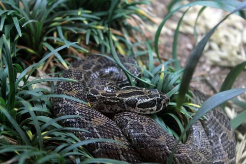 mexican lance-headed rattlesnake rattlesnake lance-headed rattlesnake