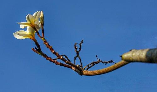 mexican plumeria  plumeria  white