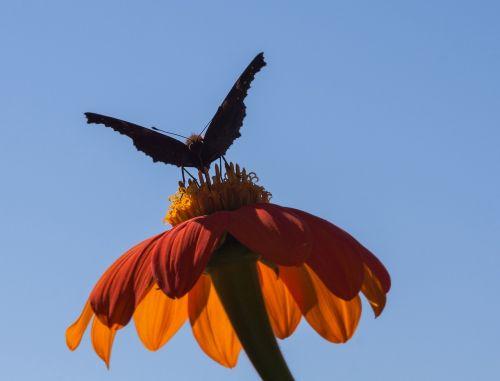 mexican sunflower flower summer