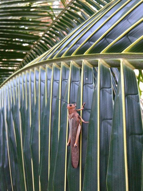 mexico  locust  leaf