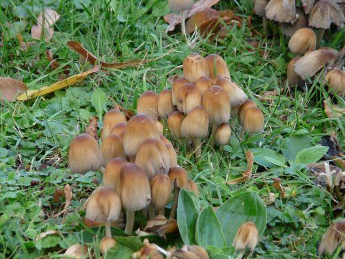 mica coprinus coprinus coprinus micaceus