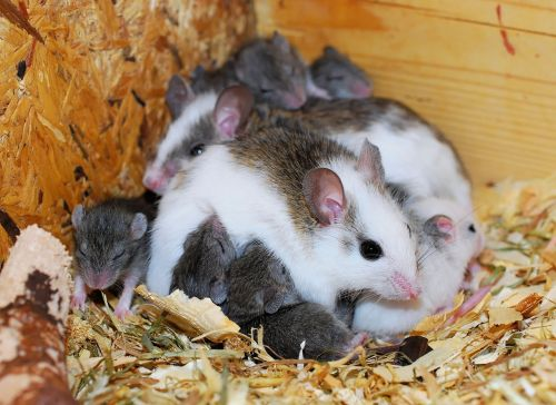 mice mastomys cute