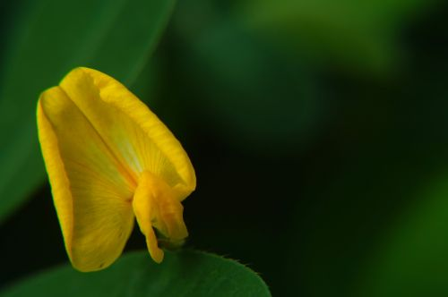 mikrofotografavimas,makro,gėlės,geltona gėlė,lapai,žalias,fotografijos makro