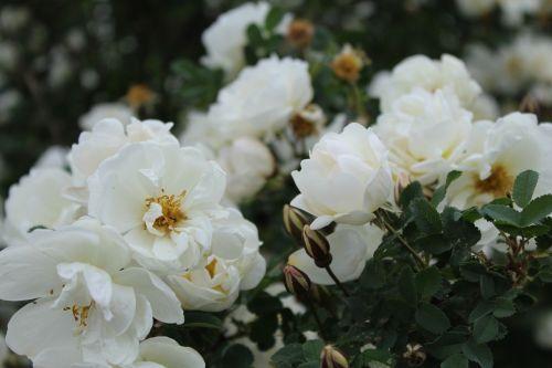 midsummer midsummer roses white flower