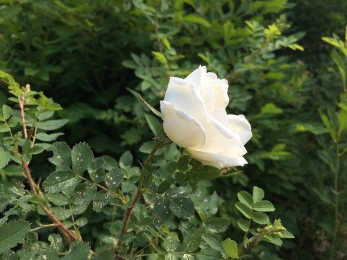 midsummer  midsummer roses  summer