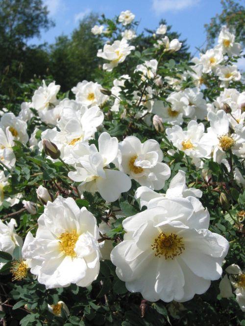 midsummer roses white roses summer